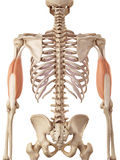 The triceps. Medical accurate illustration of the triceps Royalty Free Stock Photos