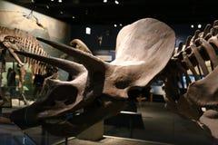 triceratops fotografía de archivo libre de regalías