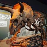 triceratops Zdjęcia Stock