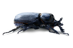 Triceratops beetle over white Royalty Free Stock Image