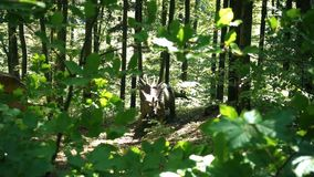 Triceratops dinosaur in a wild forest, slow motion. Hd video stock video