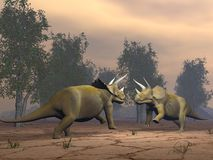 Triceratops dinosaurs fighting - 3D render. Two triceratops dinosaurs fighting in the desert by sunset Stock Photos