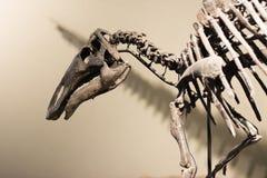 Triceratops Fossiele schedel over wit geïsoleerde achtergrond Royalty-vrije Stock Afbeeldingen