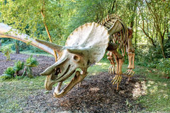 Triceratops Fossil skeleton over natural background Royalty Free Stock Photography