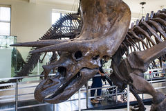 Triceratops horridus in American Museum of Natural History Stock Photo