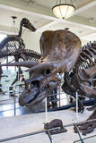 Triceratops horridus in American Museum of Natural History Royalty Free Stock Photos