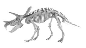 Triceratops and styracosaurs bone (Toy) on white background Royalty Free Stock Photography