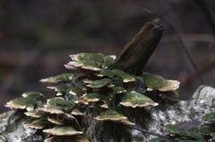 Trichaptum biforme Royaltyfria Bilder