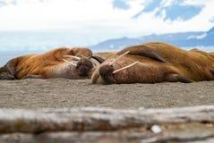 Trichechi che si trovano sulla riva nelle Svalbard, Norvegia Fotografia Stock Libera da Diritti