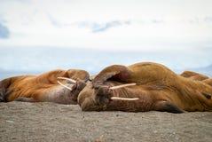 Trichechi che si trovano sulla riva nelle Svalbard, Norvegia Fotografie Stock Libere da Diritti