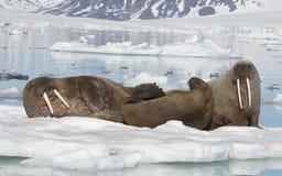 Trichechi su flusso del ghiaccio fotografie stock libere da diritti