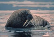 Tricheco in Artide canadese fotografie stock libere da diritti