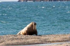 Tricheco delle Svalbard Immagini Stock