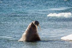 Tricheco delle Svalbard Fotografie Stock