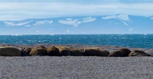 Tricheco delle Svalbard Fotografia Stock