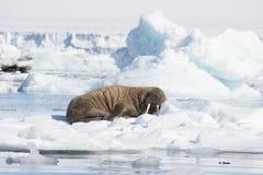 Tricheco su flusso del ghiaccio immagini stock