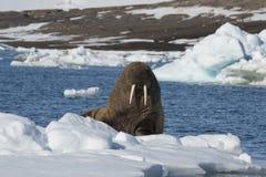 Tricheco su flusso del ghiaccio fotografia stock libera da diritti