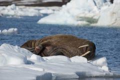 Tricheco su flusso del ghiaccio immagini stock libere da diritti