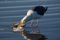 Trichez - la mouette mâchant sur des intestins de crabe photos libres de droits