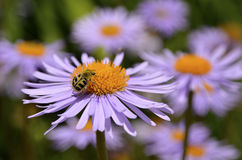 Trichius beetle on aster flower Royalty Free Stock Images