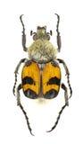 Trichius fasciatus Stock Images