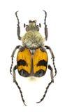 Trichius fasciatus Stock Photo
