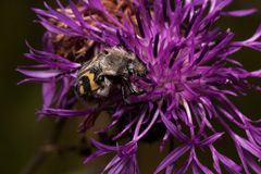 Trichius fasciatus is sitting on a purple thistle flower. Hairy beetle with a yellow-black pattern on the body. Animals in wildlife Royalty Free Stock Images