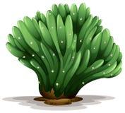 Trichocereus pachanoi forma cristata Royalty Free Stock Images