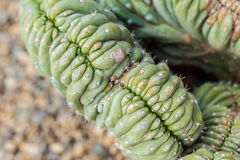 Trichocereus pachanoi Royalty Free Stock Images