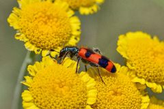 Trichodes-apiarius Lizenzfreies Stockfoto