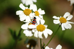 Trichodes apiarius on daisies. A colorful and black red striped beetle beetle on a daisy, xylanthemum Royalty Free Stock Photography