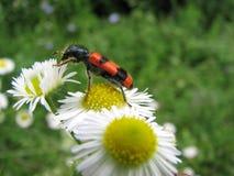 Trichodes apiarius. A Trichodes apiarius sits on a white flower Royalty Free Stock Image