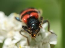 Trichodes apiarius to collect pollen. On a flower Stock Photos