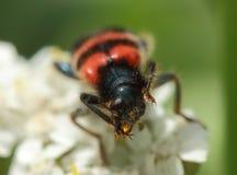 Trichodes apiarius to collect pollen Stock Photos