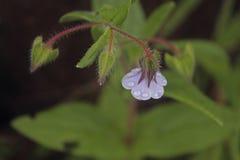 Trichodesma indicum Royalty Free Stock Photography