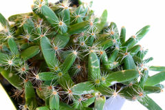 Trichodiadema densum (desert rose). Close-up of a trichodiadema densum Stock Photo
