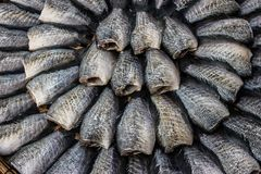 Trichogaster pectoralis, pesce essiccato fotografie stock libere da diritti