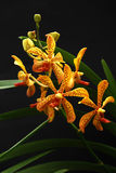 Trichoglottis orchid Stock Image