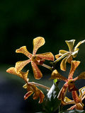 Trichoglottis orchid. Yellow Trichoglottis orchid close up Royalty Free Stock Photo