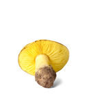 Tricholoma equestre mushroom isolated on white. Background Royalty Free Stock Images