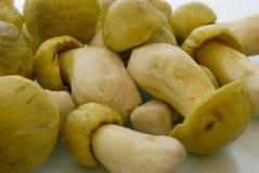 Tricholoma flavovirens. Food mushroom backgrounds. Tricholoma flavovirens Royalty Free Stock Photos
