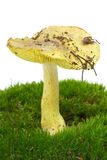 Tricholoma Flavovirens agaric Stock Photo