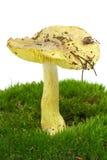 Tricholoma Flavovirens Blätterpilz Stockfoto
