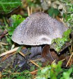 Tricholoma terreum mushroom. Beautiful grey mushrooms  in the pine forest Stock Images