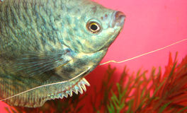 Trichopte de Trichogaster do gurami do mármore dos peixes do Aquarian Fotos de Stock Royalty Free