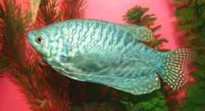 Trichopterus de Trichogaster de los pescados del acuario Imagenes de archivo