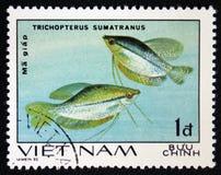 Trichopterus sumatranus, serie `-akvariefisk`, circa 1980 Arkivfoto