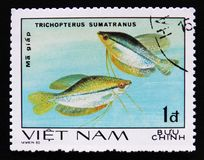 Trichopterus sumatranus, series Aquarium Fishes, circa 1980 Stock Images