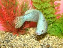 Trichopterus van de vissenTrichogaster van Aquarian Stock Foto