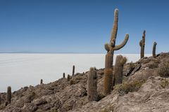 Trichoreceus Cactus on Isla Incahuasi Isla del Pescado  in the middle of the world`s biggest salt plain Salar de Uyuni, Bolivia Stock Photo